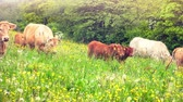 mammal : Green field with grazing cows at sunny summer day. Full HD, 1080p