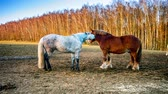 heavy : Farm horses at agricultural field. Full HD, 1080p