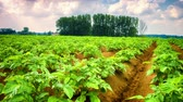 background : Agricultural field with green potato sprouts. Full HD, 1080p