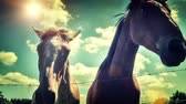 domestic : Closeup of young horses over blue sky background. Full HD, 1080p