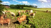 background : Green field with grazing cows on sunny summer day. Full HD, 1080p