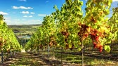 europe : Landscape with autumn vineyards and organic grape on vine branches. Wine making concept. 4k, Ultra High Definition, Ultra HD, UHD, 2160P, 3840 x 2160 Stock Footage