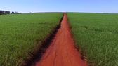 pelúcia : sugar cane plantation in sunny day in Brazil - aerial view - Canavial Stock Footage