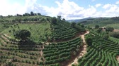coffee tree : Coffee plantation in sunny day in Brazil. Coffee plant. Stock Footage