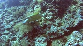Red Sea hawksbill turtle eretmochelys imbricata swimming underwater on coral reef wall in tropical ocean