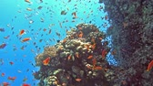 Beautiful underwater tropical coral reef landscape scene with shoals of anthias fish pseudoanthias squamipinnis