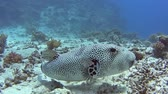 Large giant pufferfish arothron stellatus swimming on sandy seabed in tropical sea by hard coral reef Stock Footage