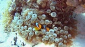 Pair of red sea clownfish in anemone on sandy seabed in tropical sea by hard coral reef Stock Footage