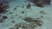Arabian picasso triggerfish rhinecanthus assasi swimming on sandy seabed in tropical sea by hard coral reef Stock Footage