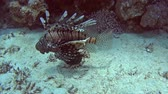 zvěř a rostlinstvo : Common African lionfish pterois volitans swimming on sandy seabed in tropical sea by hard coral reef Dostupné videozáznamy
