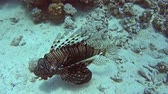 Common African lionfish pterois volitans swimming on sandy seabed in tropical sea by hard coral reef Stock Footage