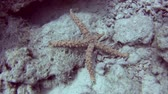 Egyptian spiny sea star gomophia egyptiaca walking across rocky sandy seabed