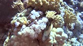 Beautiful underwater tropical coral reef landscape scene with forsters hawkfish paracirrhites forsteri on hard corals