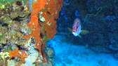 Beautiful underwater tropical coral reef landscape scene with giant squirrelfish sargocentron spiniferum on hard corals