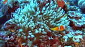 Pair of red sea clownfish in anemone on sandy seabed in tropical sea by hard coral reef Vidéos Libres De Droits