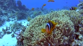 fins : Pair of red sea clownfish in anemone on sandy seabed in tropical sea by hard coral reef Stock Footage