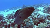 dente : Large giant moray eel gymnothorax javanicus on rocky seabed in tropical sea by hard coral reef