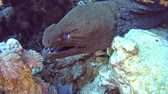 Large giant moray eel gymnothorax javanicus on rocky seabed in tropical sea by hard coral reef