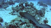 angolna : Large giant moray eel gymnothorax javanicus swimming on rocky seabed in tropical sea by hard coral reef Stock mozgókép