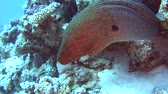 dişler : Large giant moray eel gymnothorax javanicus on rocky seabed in tropical sea by hard coral reef