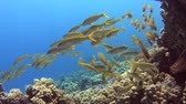 poisson eau de mer : Shoal of yellowfin goatfish swimming on a tropical coral reef with blue water background Vidéos Libres De Droits