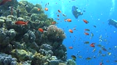 Beautiful underwater tropical coral reef landscape scene with shoals of anthias fish pseudoanthias squamipinnis and scuba divers Stock Footage