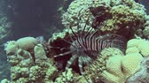 ploutve : Common African lionfish pterois volitans swimming on in tropical sea by hard coral reef Dostupné videozáznamy