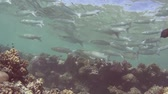Shoal of fringelip mullet crenimugil crenilabis swimming in shallow water on a tropical coral reef with blue water background Stock Footage