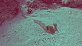 Bluespotted lagoon stingray taeniura lymma hiding on sandy seabed in tropical sea