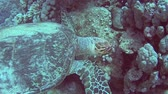 Red Sea hawksbill turtle eretmochelys imbricata swimming and feeding underwater on coral reef wall in tropical ocean Stock Footage