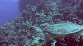 poisson eau de mer : Red Sea hawksbill turtle eretmochelys imbricata swimming underwater on coral reef wall in tropical ocean