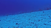 Large colony of Red Sea garden eels gorgasia sillneri feeding on sandy seabed slope in tropical sea