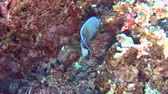 Arabian angelfish pomacanthus maculosus swimming on in tropical sea by hard coral reef