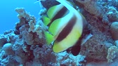 Pair of Red Sea bannerfish heniochus intermedius swimming on in tropical sea by hard coral reef