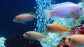 shoal of goldfish swim in aquarium among coral reef