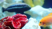 a few goldfish swim among red coral reef closeup shot Stock Footage
