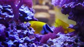 beautiful vivid Sailfin Tang and One Spot Foxface fish swim among coral reef closeup shot