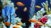 shoal of yellow orange vivid fish swim among coral reef in aquarium with air bubbles Stock Footage