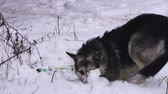 homeless not purebred dog rolling enjoying snow Stock Footage