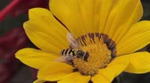 a bee collects pollen on yellow flower. macro shooting