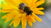 a bee wash herself rub pads on yellow flower. macro shooting Stock Footage