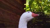 closeup shot of a white goose portrait head beak rolling in nature Stock Footage