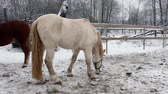 pár : Horses on snow pasture in winter