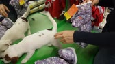 Blonde woman wear small white terrier puppy in the pet store. NOW 24, 2018 MOSCOW, RUSSIA Стоковые видеозаписи