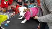 Small white terrier puppy in the pet store. Dress the dog in overalls. DEC 22, 2018 MOSCOW, RUSSIA Стоковые видеозаписи