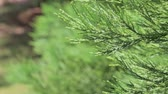 moha : Thuja branches fluttering in the wind on a sleepy day. Thuja occidentalis is an evergreen coniferous tree, in the cypress family Cupressaceae. Macro