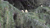 olgunlaşmamış : Coniferous tree in the forest. The concept of birth holidays and wildlife