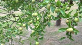 malus : Green sour Stock Footage