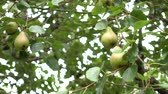 gruszka : Wild conference pears with green leaves. Wind shakes branches with fruits on a sunny day Wideo