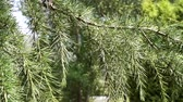 sedir : Dangling hanging branch of evergreen tree with bunches of needles close-up Stok Video